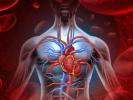 Nyt studie viser, at hvidløgsekstrakt kan formindske hjertekarsygdomme
