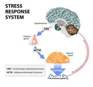 stressresponse