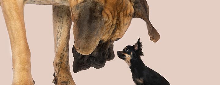 diabetes sintomática hoftedysplasi hund